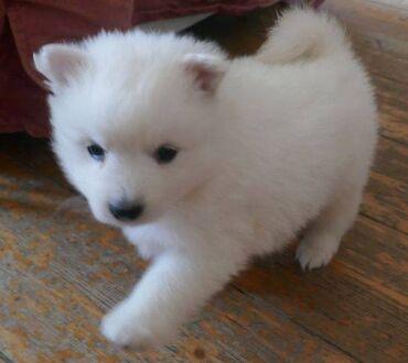 Ιαπωνικά κουτάβια SpitzΟ Ιαπωνικός Σπιτς είναι ένα σκυλί με μεγάλη