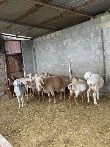 Продаю | Овца (самка), Баран (самец) | Гиссарская | На забой, Для разведения | Племенные