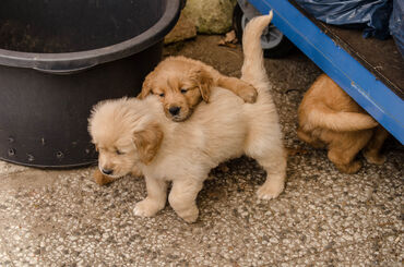 Golden retrieverOur gorgeous family pet Rose has given birth to a