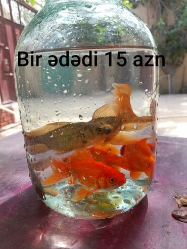 792 elan | AKVARIUMLAR: Akvarium baliqları