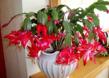 Кактус - Кыргызстан: Продаю комнатный цветок декабристы Цена 150 сом