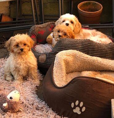 Λατρεύοντας και Εξαιρετικά μικρά σκυλιά cavapoo προσβάσιμα για να αγορ