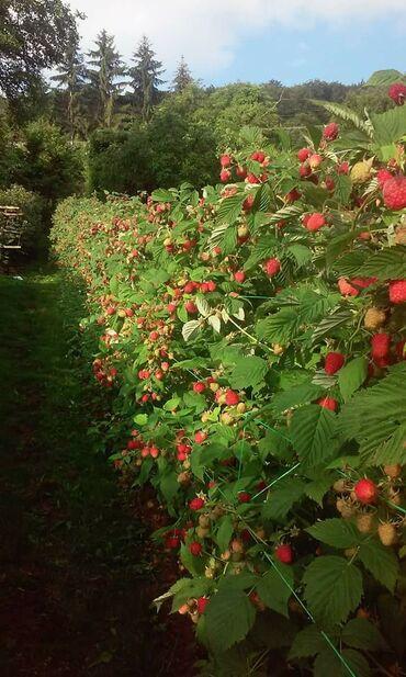 Kuća i bašta - Ivanjica: Na prodaju sadnice malina sorte fertodi,stari vilamet,tulamin i