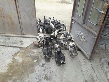 Животные - Остров Хазар: Lal ördekler 5 ayliqdi saqlamdi 20 denedir erkek disi tekde satilir