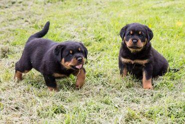 Εκπληκτικά κουτάβια Rottweiler Whatsapp . +  7 εκπληκτικά κουτάβια