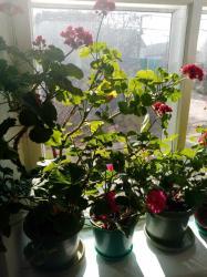 Комнотное растение герань 10 видов 250 сом за горшок