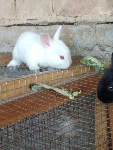 Животные - Джалал-Абад: Продаю | Крольчата | Для разведения