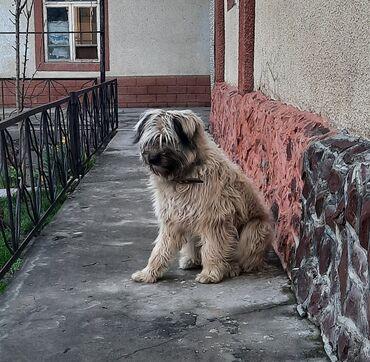 собака звонок в Кыргызстан: Отдам собаку в добрые руки!10 месяцев, сделаны все прививки.Очень