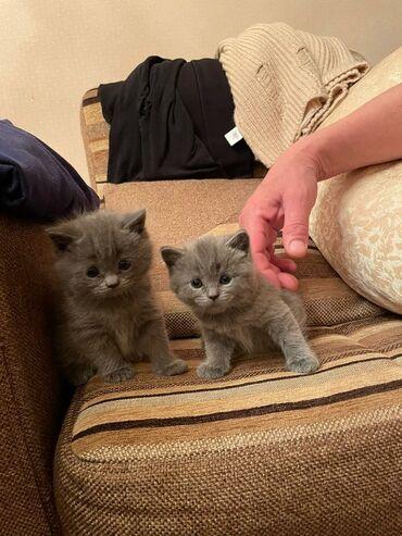 компьютерные мыши top trends в Кыргызстан: Продаю котят  Скоттиш страйт  Мальчик и девочка  Котятам месяц