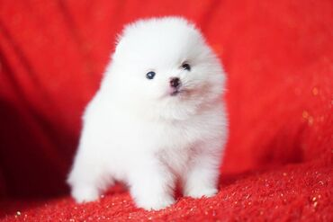 Pomeranian puppies for sale and any interested home and they come with
