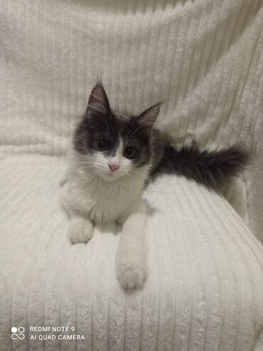 Кошка 3 месяца Проглистована Шустрая,активная К лотку приучинаЗвоните