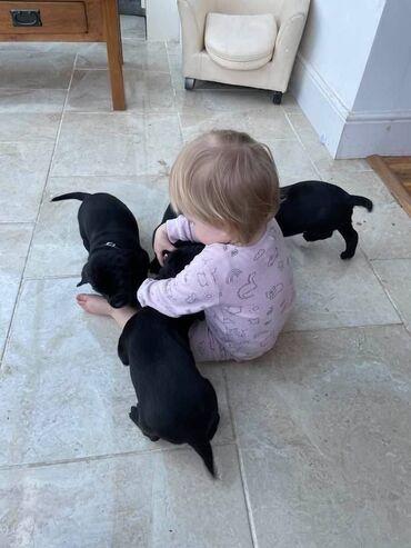 Πώληση κουτάβια Labrador RetrieverΈχουμε προς πώληση αρσενικά και