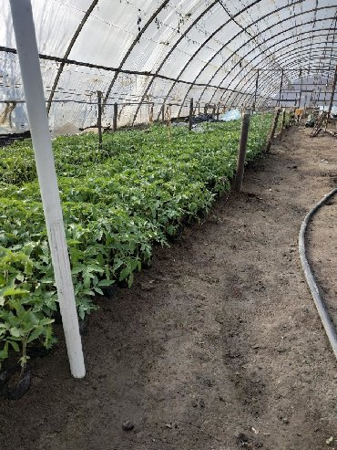 уличный фонарь польша в Кыргызстан: Продаю рассаду розовых помидоров голландских разных сортов, и