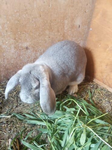 Животные - Арашан: Продается крол самец, порода Французкий Баран! Возраст 1год 4 месяца!