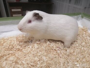 Животные - Аламедин (ГЭС-2): Морские свинки отдадим в добрые руки, только белые