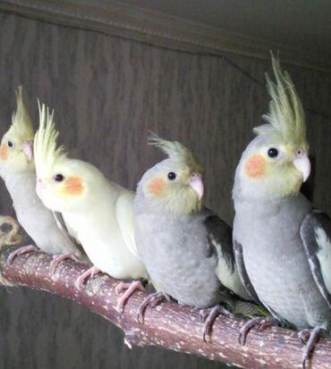 Птицы - Кыргызстан: Попугаи Карелла хорошо учатся разговаривать и приручаются к рукам. А