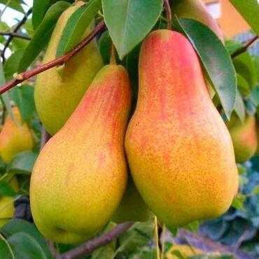 Продаю груши яблоки иссыкульские оптом