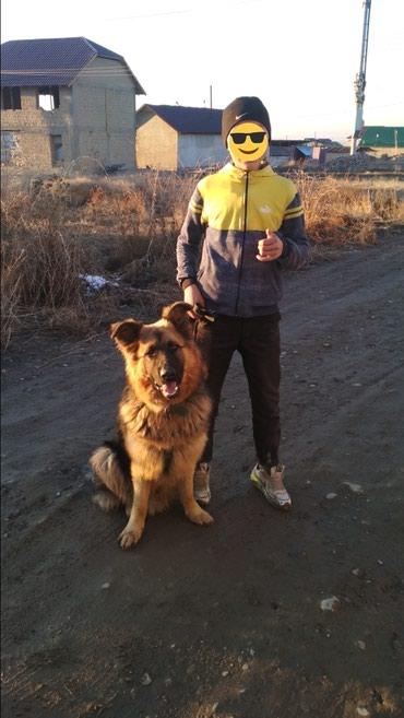 Вязка немецкий овчарки длина шерс в Бишкек
