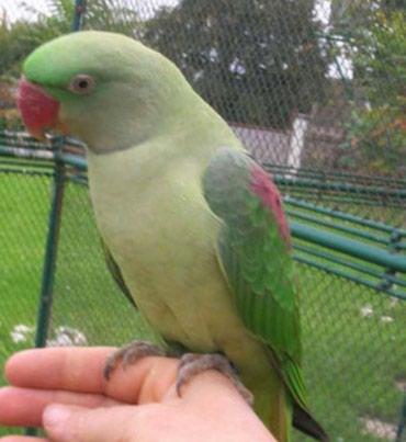 Александрийские попугаи хорошо приручаются к рукам а так же к разговор