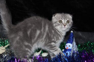 вислоухий шотландец котенок в Азербайджан: Шотландская вислоухая мраморного окраса.Готова к переезду . К лотку