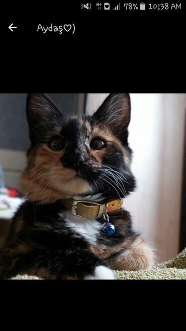 Calico sortudur adı Lilidir 11 aylıqdır