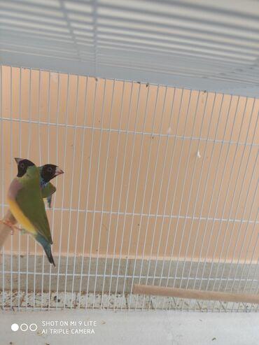 Gulda (Golden Finch) cütü satılır Tam sağlam quşlardır Qəfəs yuva