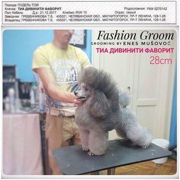Psi   Srbija: Mužjak toy pudle, srebrne boje slobodan za parenje. Uvezen iz Rusije
