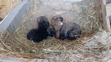 Животные - Чолпон-Ата: Продаются щенки породы овчарка