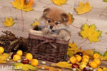 Bakı şəhərində Pomeranian shpic-900$dan başlayan qiymətlərlə... Bütün