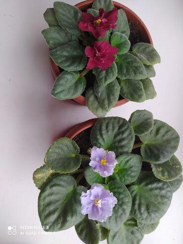 Комнатные цветы, фиалки по 150 сом