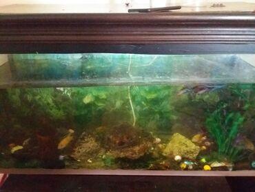 pirani baliqlari - Azərbaycan: Akvarium yaxsi vezyetdedir 1 metr uzunluğu 2sm eni 45 sm hundurluyu
