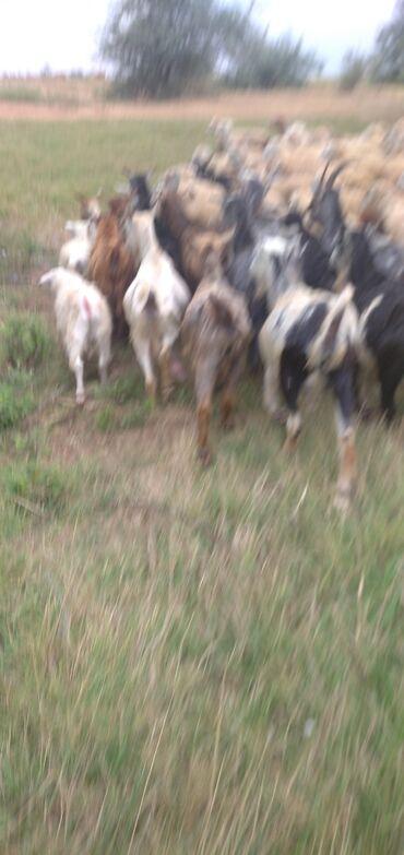 Salam aleykum kim keçi satlir sort keçilirdi bir qapının heyvanıdi 10