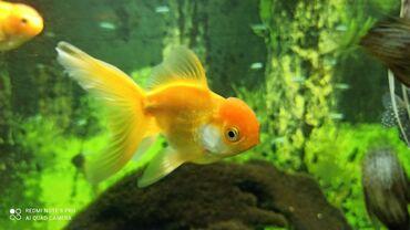 Аквариумы - Кыргызстан: Золотые рыбки. Продаю. Цену пишите в Вотсап