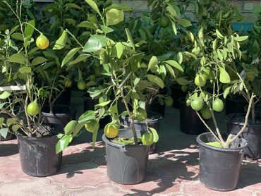 Лимоны - Кыргызстан: Продаю ЛИМОННЫЕ ДЕРЕВЬЯ 3-годовалые, в год 4 раза дает плодыПрямиком с