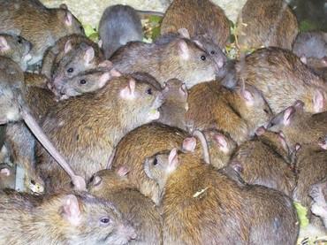Крысы в Кыргызстан: Куплю диких крыс (не декоративных) штук 10-15 не дорого!