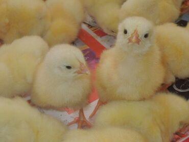 Продаю | Цыплята | Бройлерная | На забой, Для разведения