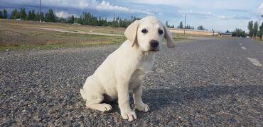 Животные - Каракол: Продается щенок породы Лабрадор Ретривер