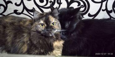 стерилизовать кошку в Кыргызстан: Очаровательная девочка, помесь британки, возраст около года