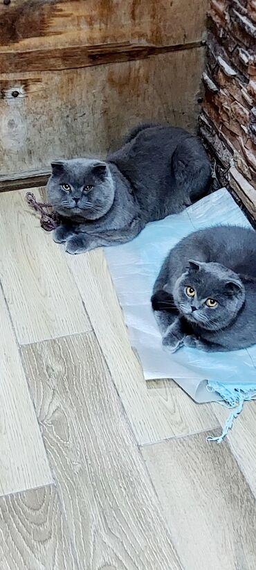 вислоухий сиамский кот в Азербайджан: Вислоухий шотландский кот приглашает на вязку прямоухую шотландскую