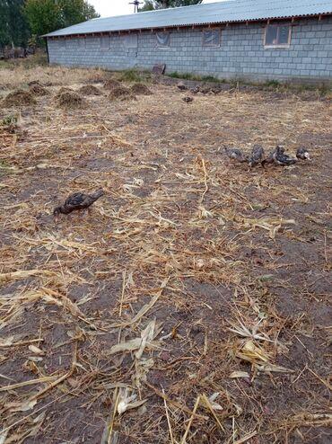 18 объявлений   ЖИВОТНЫЕ: Утки 4х месячные 60 шт по 420 сом, тел