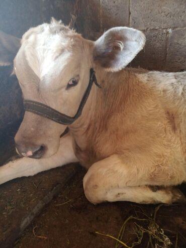 Продаю бычков породы шароле, возраст 2 мес, и бычок породы симентал во