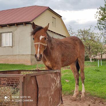 Сейфы - Кыргызстан: 1 Жаштык тай. Баасы 50.000 болору 45.000