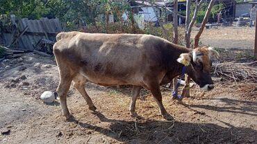 сепаратор для молока купить в бишкеке in Кыргызстан   ДРУГАЯ БЫТОВАЯ ТЕХНИКА: Продаю   Корова (самка)   Для молока   Стельные