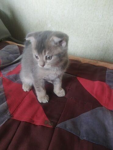Продается котенок вислоухий 3 месяца