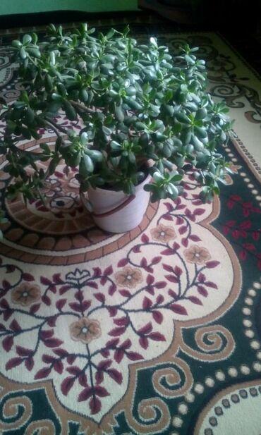 Комнатные растения - Узген: Доллар цветок