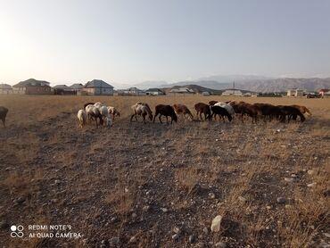 13 объявлений | ЖИВОТНЫЕ: Продаю | Овца (самка) | Гиссарская, Арашан | Для разведения | Матка