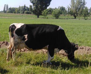 Животные - Нижний Норус: Продаю | Корова (самка) | Голштин | Для молока | Стельные