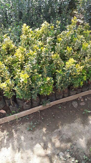 Otaq bitkiləri - Lənkəran: Bardiur uçun iremus ağacı.Bakıyada sifarişler çatdırılır