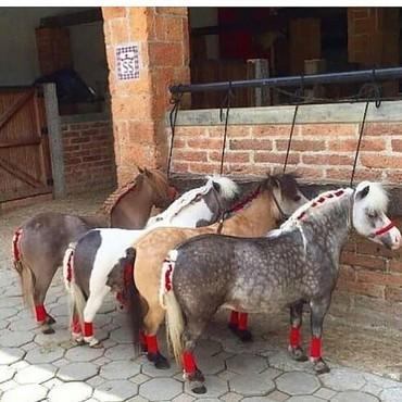 at-satiwi - Azərbaycan: Cins atlar