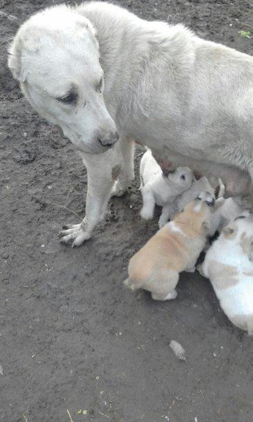 Продаю щенков алабая в Беловодское